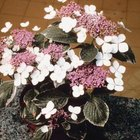 This lacecap hydrangea variety has variegated leaves.