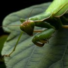 How Can I Tell If My Praying Mantis Is Molting?