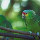 Blue-Fronted Amazon Diet