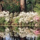 How to Tell the Difference Between a Magnolia Tree & Bush