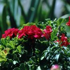 When Should You Put Geraniums Outside?