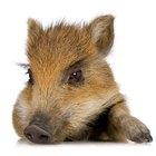 Como cuidar de porquinhos recém-nascidos