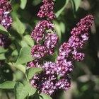 Técnicas de poda apropiadas para un arbusto de lila