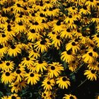 Native flowers including black-eyed Susan may be divided for robust regrowth next season.
