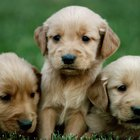 Raising Golden Retriever Puppies