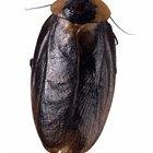 Cómo preparar cebo exterminador para cucarachas
