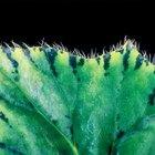 Cómo identificar begonias de interior