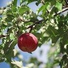 ¿Cúando injertar manzanos?