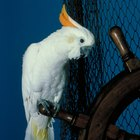 Can a Cockatoo Grow Its Feathers Back?