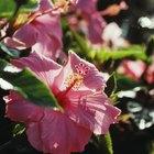 Remedio orgánico para combatir los ácaros en las plantas de hibisco