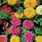 Zinnias have smoother leaf edges than marigolds.
