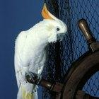 Understanding Your Cockatoo