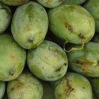 ¿Qué fertilizante debo usar cuando los mangos están floreciendo?