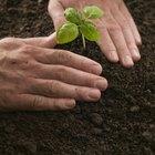 ¿Qué plantas o hierbas contienen diosmina?