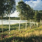 Como plantar uma árvore bétula ou vidoeiro de rio