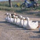 Cómo incubar huevos de pato pekinés