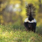Do Dogs Like a Skunk's Scent?