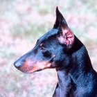 Manchester Terrier Life Expectancy