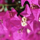 How to Protect Bougainvillea From Frost