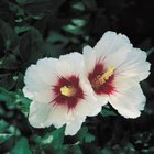 Rose of Sharon flowers can be single or double form.