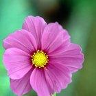 ¿Cuál es la flor de más rápido crecimiento que puedes comprar en una tienda?