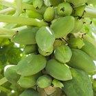 Cuánto tiempo se tarda en crecer una planta de papaya