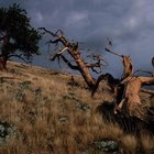 Bristlecone trees are the oldest living trees of all the conifers.