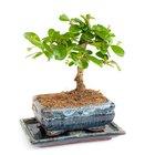 Cuidados com árvore de ginseng (ficus ginseng)