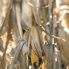 Usos de las hojas del maíz