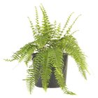 Ferns may need renewing every few years by dividing the rhizomes.