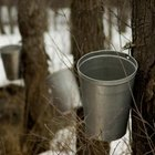 Sugar maple trees are tapped for their sap.
