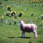Como construir um abrigo para ovelhas