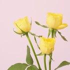 Cómo mantener las rosas vivas por más tiempo