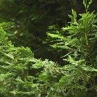 Cedar tree identification