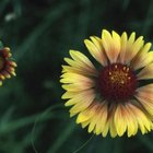 The petals of blanket flowers have ragged edges.