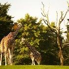 Información para niños sobre las jirafas