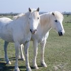 Como um cavalo se reproduz?