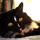 ¿Cuál es el origen de los gatos bicolor?