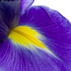 How to Propagate Iris From Seed