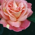 Los tallos de mi rosal se están volviendo negros