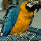 Quais são os predadores da Arara-Canindé?