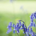How to grow bluebells