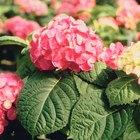 Daños en las hojas de las hortensias