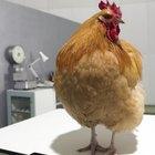 Cómo deshacerse de las pulgas en las gallinas