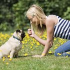 How to Care for Female Pugs