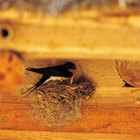 How to Deter Swallows From Building Nests