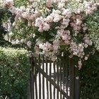 Cómo cultivar un rosal de un brote