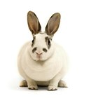 How will you know when your rabbit is in labour?