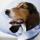 How to Keep a Dog Cone on After Neutering