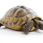 How to Look After Horsefield Tortoises
